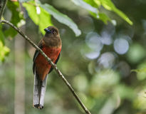 Diard`s Trogon female sitting on a small branch in the rairforest in Sepilok, Borneo, Sabah, Malaysia Royalty Free Stock Photo