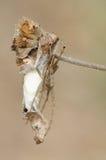 Diardi de Hyllus de la araña 3 Foto de archivo