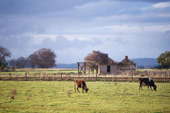 Diary Cattle in Pasture Stock Photography