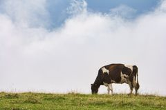 Diary cow stock photography