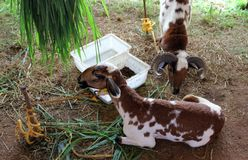 Diary goats Stock Photography