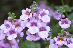 Diascia flower in the garden Royalty Free Stock Photography