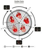 Diastole del ciclo cardiaco e sistole di anatomia umana del cuore illustrazione di stock