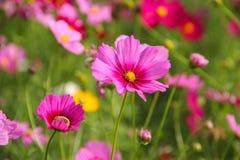 Diasy cor-de-rosa Imagem de Stock