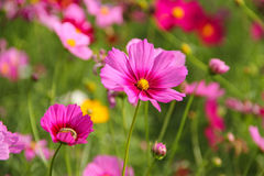 Diasy rosa färg Fotografering för Bildbyråer