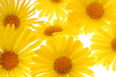 diasy yellow royaltyfri fotografi