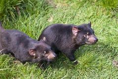 Diavoli tasmaniani che prowling Fotografia Stock Libera da Diritti
