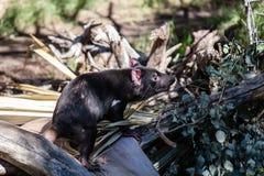 Diavolo della Tasmania Fotografie Stock Libere da Diritti