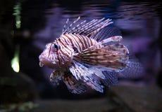 Diavolo Firefish immagine stock