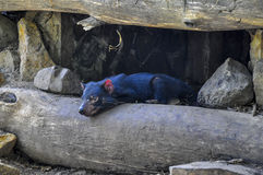 Diavolo tasmaniano Fotografie Stock