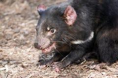 Diavolo tasmaniano Immagine Stock Libera da Diritti
