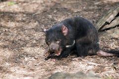 Diavolo tasmaniano Fotografie Stock Libere da Diritti