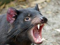 Diavolo tasmaniano del harrisii- del Sarcophilus immagini stock