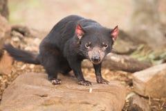Diavolo tasmaniano a Hobart, Tasmania immagini stock libere da diritti