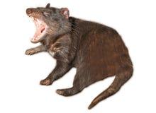 Diavolo tasmaniano isolato immagini stock libere da diritti
