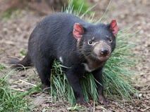 Diavolo tasmaniano (Sarcopilus Harrisii) fotografia stock libera da diritti