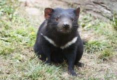 Diavolo tasmaniano sveglio che esamina la macchina fotografica Immagini Stock
