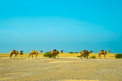 Dibai camels Royalty Free Stock Photos