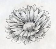 Bosquejo del lápiz de la flor de la margarita ilustración del vector