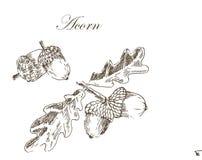 Dibujo de bosquejo de la tinta del vector de las bellotas del otoño Imagen de archivo