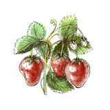 Dibujo de la acuarela de la fresa Fresa en un backgrou blanco Fotografía de archivo