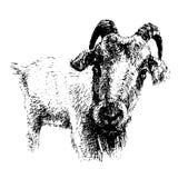Dibujo de la cabra, gráfico en blanco y negro Imagenes de archivo