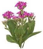 Dibujo de la flor rosada de Kalanchoe Fotografía de archivo