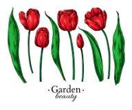 Dibujo de la flor y de las hojas del tulipán Sistema floral dibujado mano del vector Bosquejo botánico Imagenes de archivo