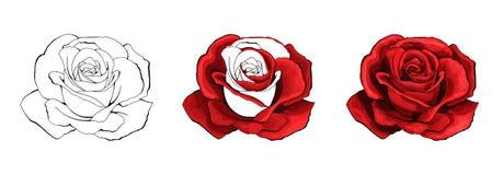 Dibujo de la mano de Rose y coloreado Un capullo de rosa floreciente Ilustración del vector stock de ilustración