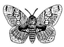 Dibujo de la polilla del brahmán libre illustration