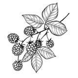 Dibujo de la rama de Blackberry stock de ilustración