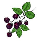 Dibujo de la rama de Blackberry fotografía de archivo libre de regalías