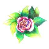 Dibujo de la rosa del rojo stock de ilustración