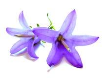 Dibujo de una campana púrpura de la flor aislada en blanco Fotografía de archivo