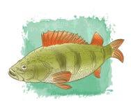 Dibujo del color de los pescados de agua dulce Fotografía de archivo libre de regalías