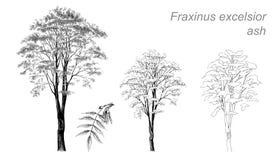 Dibujo del vector de la ceniza (virutas para rellenar del Fraxinus) Fotos de archivo libres de regalías