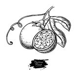 Dibujo del vector de la fruta de la pasión Ejemplo tropical exhausto de la comida de la mano Passionfruit grabado del verano imagen de archivo