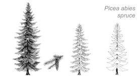 Dibujo del vector de la picea (la Picea abies) Foto de archivo libre de regalías