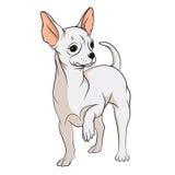 Dibujo del vector de una chihuahua Objetos aislados en un fondo blanco Imagen de archivo