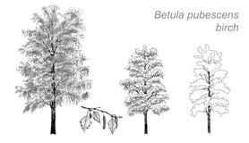 Dibujo del vector del abedul (pubescens de Betula) Fotografía de archivo
