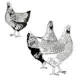 Dibujo del vector del gallinas Foto de archivo