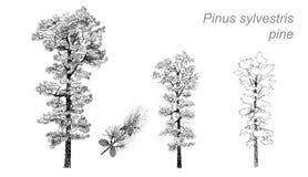 Dibujo del vector del pino (sylvestris del pinus) Foto de archivo