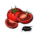 Dibujo del vector del tomate Tomate aislado y pedazo cortado Verdura Foto de archivo libre de regalías