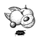 Dibujo del vector del Longan Ejemplo exhausto de la fruta tropical de la mano Fruta grabada del verano fotografía de archivo