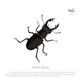 Dibujo detallado de los ciervos del escarabajo Insecto negro en un blanco stock de ilustración