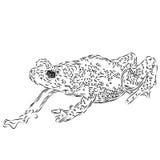 Dibujo lineal de un sapo del espray de Kihansi stock de ilustración