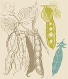 Dibujo vegetal del vintage de los guisantes Fotografía de archivo libre de regalías