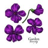 Dibujo violeta de la flor Sistema floral dibujado mano del vector Bosquejo de la viola Imagen de archivo libre de regalías