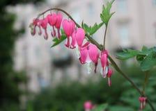 Dic?ntra, une fleur sous forme de coeur dans la perspective du paysage de parc photo stock