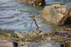 Dice Natrix tessellata. In water royalty free stock photo